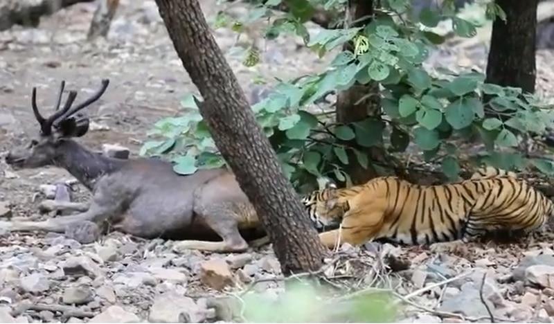 Vídeo registra luta por sobrevivência de cervo ao ser atacado por tigresa; assista