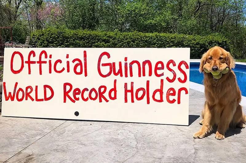 Golden Retriever conquista recorde mundial