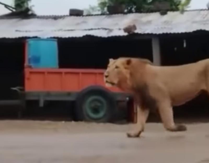Gravação mostra momento em que leão passa em frente de residência e homem o espanta
