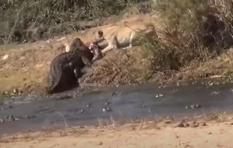 Vídeo registra luta brutal entre leoa e grande crocodilo por presa; assista
