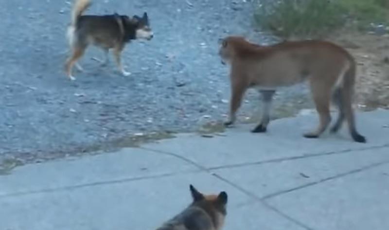 Em vídeo surpreendente, cachorros enfrentam puma que entrou em quintal de residência; assista