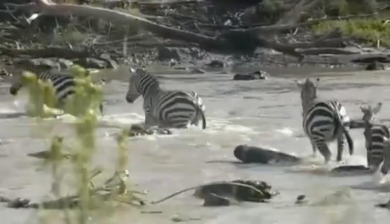 Vídeo registra momento em que grupo de zebras tenta atravessar rio e sofre ataque brutal de crocodilos; assista