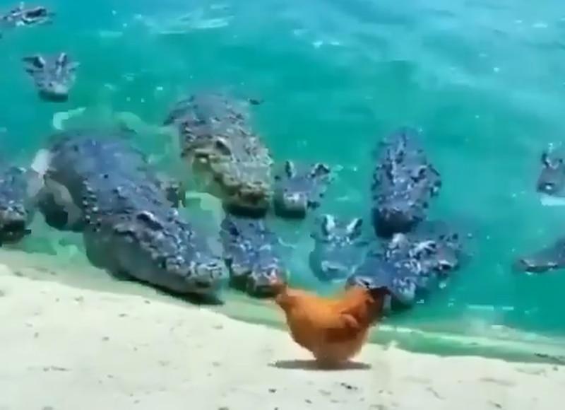Vídeo mostra 'passeio tranquilo' de galinha em recinto repleto de crocodilos; assista