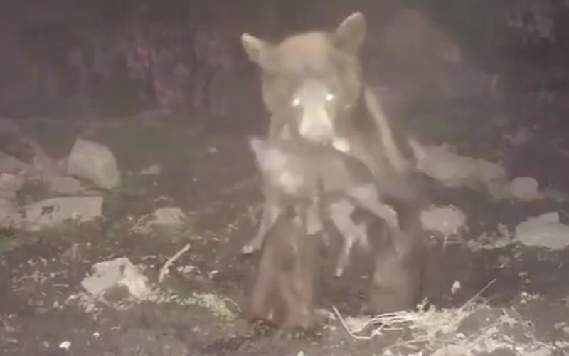 Vídeo registra momento em que urso captura e ataca porco durante fuga grupal; assista