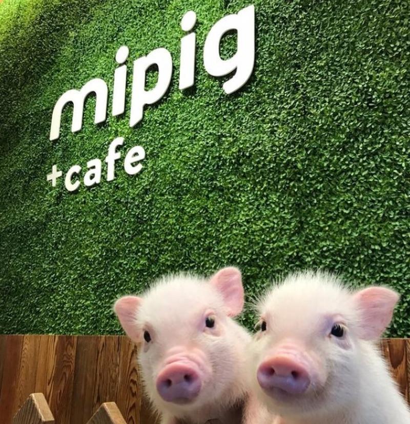 Mipig Café